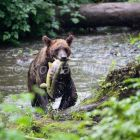 Braunbär mit Lachs, Grizzly-Bär, Ursus arctos, Pack Creek, Tongass Nationalpark, Admiralty Island, Alaska