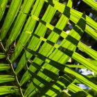 palm leaves in Rainforest, Andaman Islands, India