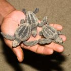 Seaturtle hatchlings in hand, Olive Ridley Turtle, Lipidochelys olivacea, Cutbert Bay, Andaman Islands, India