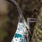 Lantern bug in rainforest, Pyrops spec., North Andaman, Andaman Islands, India