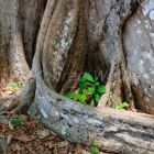 Buttress roots of a rainforest tree, Havelock Island, Andaman Islands, India