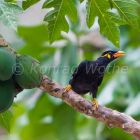 Hill Mynah, Grackle in papaya tree, Gracula religiosa, Havelock Island, Andaman Islands, India