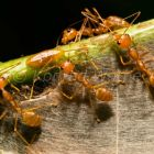 Weaver Ants in rainforest, Havelock Island, Andaman Island, India