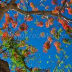 Flame Tree against the blue sky, Delonix regia, Havelock, Andaman Islands, India