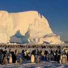 Emperor Penguins with chicks, Aptenodytes forsteri, Antarctica