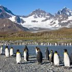 King Penguins, Aptenodytes patagonicus, St. Andrews Bay, South Georgia, Antarctica