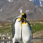 King Penguins courting, Aptenodytes patagonicus, South Georgia, Antarctica