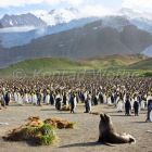 King Penguins, Aptenodytes patagonicus, colony, Gold Harbour, South Georgia, Antarctica