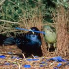 Satin Bowerbird, male and female at bower, Victoria, Australia Ptilonorhynchus violaceus