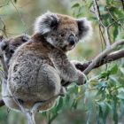 Koala with baby in Gum Tree, Phascolarctos cinereus, Victoria, Australia
