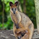 Swamp Wallaby with joey, Wallabia bicolor, Queensland, Australia, captive