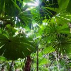 Fan Palms in rainforest, Licuala ramsayi, Daintree National Park, North Queensland, Australia