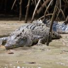 Estuarine Crocodile in mangroves, Crocodylus porosus, Daintree National Park, Queensland, Australia