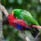 Eclectus Parrots, pair mating, Eclectus roratus, rainforest, Cape York Peninsula, North Queensland, Australia, captive