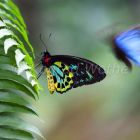 Cairns Birdwing male on fern leaf, Ornithoptera priamus, Atherton Tablelands, Queensland, Australia