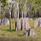 Magnetic Termite Mounds, Amitermes spec., Cape York Peninsula, North Queensland, Australia