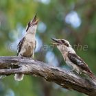 Laughing Kookaburra pair laughing, calling, Dacelo novaeguineae, Queensland, Australia