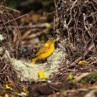Golden Bowerbird decorating his bower with flowers, Prionodura newtoniana, Atherton Tablelands, Queensland, Australia