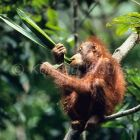 Young Orang Utan eating in tree, Pongo pygmaeus, Borneo