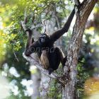 Borneo Gibbon in rainforest, Hylobates muelleri, Tanjung Puting National Park, Kalimantan, Borneo, Indonesia