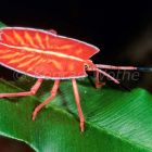 Tropical bug in the rainforest of Borneo, Pycanum rubens, Sabah, Malaysia