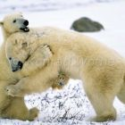 Polar Bears playing, Ursus maritimus, Churchill, Canada