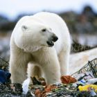 Polar Bear at garbage dump, Ursus maritimus, Churchill, Canada