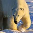 Polar Bear, Ursus maritimus, Churchill, Canada