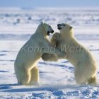 Polar Bears playing, Ursus maritimus, Churchill, Manitoba, Canada