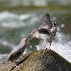 American Dipper feeding young, Cinclus mexicanus, Costa Rica