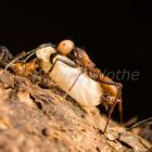 Army Ant with larva, submajor and workers, Eciton burchellii, rainforest of La Selva, Costa Rica