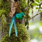 Resplendent Quetzal male looking out of nesthole, Pharomachrus mocinno costaricensis, Costa Rica