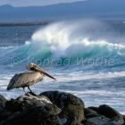 Brown Pelican, Pelecanus occidentalis, Galapagos Islands, Ecuador