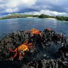 Sally Lightfoot Crabs, Grapsus grapsus, Galapagos Islands, Ecuador