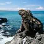 Marine Iguana on the coast, Amblyrhynchus cristatus, Isabela Island, Galapagos Islands, Ecuador