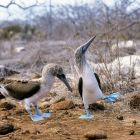Blue-footed Boobies, courting, Sula nebouxii, Galapagos Islands, Ecuador