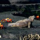 Sally Lightfoot Crabs, Grapsus grapsus, and Marine Iguana, Amblyrhynchus cristatus; James, Galapagos Islands, Ecuador