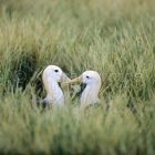 Waved Albatrosses pair, Diomedea irrorata, Hood Island, Galapagos Islands, Ecuador