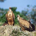 Griffon Vulture, Gyps fulvus, Greece, Europe
