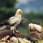 Egyptian Vulture at carrion, Neophron percnopterus, Greece, Europe