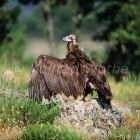 Black Vulture, Aegypius monachus, Rhodope mountains, Greece, Europe
