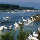Little Egrets at Kerkini lake, Egretta garzetta, Greece, Europe