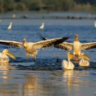 White Pelicans at Kerkini lake, Pelecanus onocrotalus, Greece, Europe
