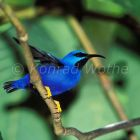 Purple Honeycreeper, male, Cyanerpes, caeruleus, Trinidad, West Indies, South America