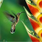 hummingbird, Glaucis hirsuta, on heloconia flower in rainforest, Trinidad, West Indies