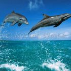 Bottlenosed Dolphins leaping, Caribbean, Tursiops truncatus