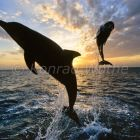 Dolphins leaping at sunset, Tursiops truncatus, Caribbean