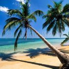 Coconut trees on Las Terrenas Beach, Cocos nucifera, Caribbean, Dominican Republic
