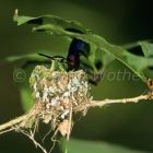 Copper-rumped Hummingbird in nest, Amazilia tobaci, Tobago, West Indies, South America