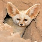 Fennec Fox looking out of his den, Canis zerdus, libyan desert, Libya, Sahara, North Africa, captive